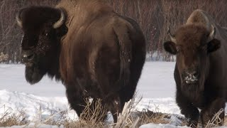 Download Wolf Pack Hunts Buffalo Herd | BBC Earth Video