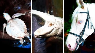 Download 23 Albino Animals That Have Rarely Ever Been Seen Video