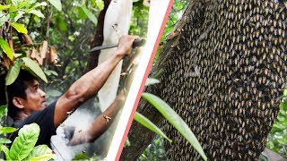 Download Primitive Technology: Find Bees By Fire Smoke Naturally - Harvesting Honey from Giant Honeybees Video