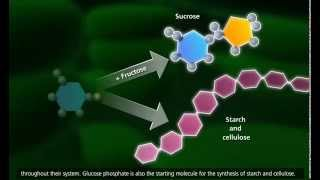 Download Photosynthesis Light reaction, Calvin cycle, Electron Transport HD Video