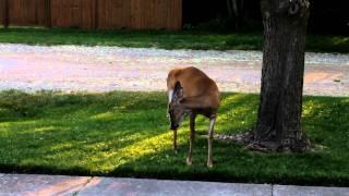 Download Funny Sneezing Deer Video