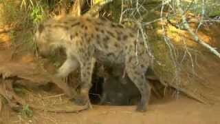 Download Hyper Hyena Cub Tires Himself Out Video