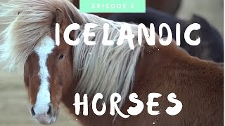 Download Icelandic Horse: Everything You Need to Know Video
