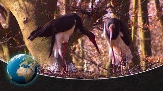 Download Black storks - returnees to German forests Video