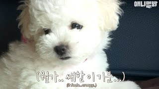 Download 미운비숑새끼...″엄마가 나만 미워해요″ㅣMother Bichon's love-hate relationship with her puppy What's the story? Video