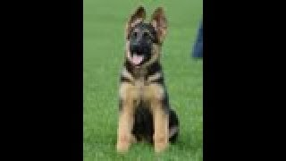 Download Puppy Training - Positive Method - 3 months old German Shepherd Dog / K9 Ambassador Video