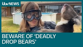 Download Our reporter pranked into thinking the koala she's holding is a 'deadly drop bear' | ITV News Video