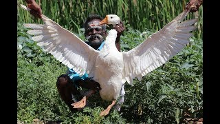 Download FULL DUCK Curry Prepared By DADDY / Village food factory Video