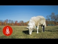 Download This Farm Fits Injured Animals with Prosthetics Video