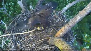 Download AEF DC EAGLE CAM: 19 JULY 2018 - It's in the Genes Video