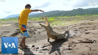 Download Costa Rican Man Faces Down Hungry Crocodiles to Make Ends Meet Video