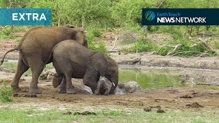 Download Elephants struggle to save clumsy calf Video