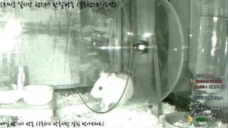 Download [모찌Live/햄스터] 실시간 햄스터 관찰 방송 Hamster Live #16-12-24 Video