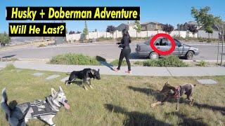 Download Awkward Looking Doberman Helps German Shepherd Puppy SOCIALIZE! Video