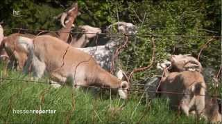 Download Mit der Ziegenlady in der Rhön - ″hessenreporter″ Video