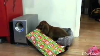 Download Excited dog opens Christmas present. Video