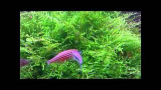 Download Zebra Danios Spawning And Breeding Video