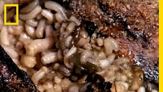 Download Maggot Medicine | National Geographic Video
