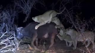 Download Safari Live : Nkuhuma Pride takes down a Cape Buffalo ( Very Graphic ) Sept 24, 2016 Video