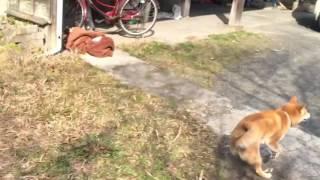 Download バイバイって言うと慌てて戻って来る柴犬 My dog comes back when I say″bye bye″ Video