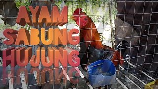 Download Ayam Sabung HUJUNG HD Video