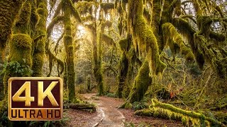 Download 4K, Hoh Rain Forest - Nature Relaxation Video Video