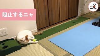 Download 練習が出来ない…カップインを阻止する猫さん【 PECO TV 】 Video