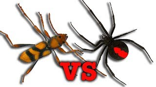 Download Deadly Black Widow Redback Spider Vs Wasp Bug War Nature's Best Illusion Video