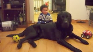 Download Giant Labrador plays gently with baby Video