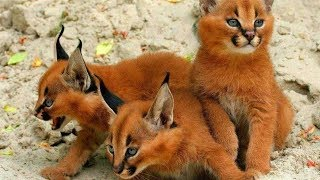 Download 14 RAREST Cat Breeds In The World! Video
