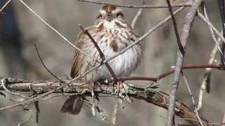 Download Song Sparrow Calling Video