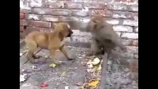 Download Monkey fighting with dog and funny too Video