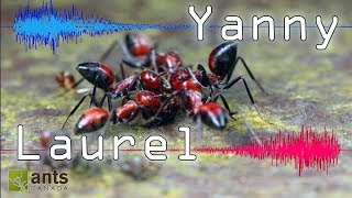 Download Do You Hear ″Yanny″ or ″Laurel″? (Can Ants Be Confused, too?) Video