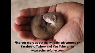 Download Robert E Fuller: My pet weasel Fidget loves his assault course in my artist's studio Video