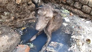 Download Rescue of heart-broken dog dying alone in sewage Video