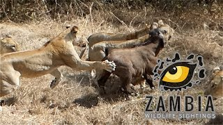 Download 7 Lionesses Vs Buffalo Calf and its herd.... Video
