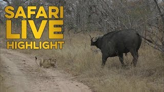 Download The first of the dry season buffalo hunts! Video