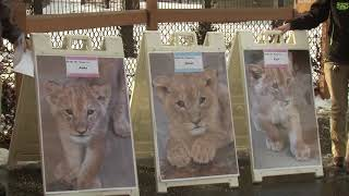 Download Our Lion Cubs Have Names! Video