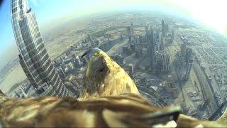 Download Dubai World Record Eagle Flight Video