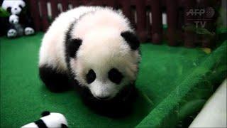 Download Un 2e bébé panda né au zoo de Kuala Lumpur présenté au public Video