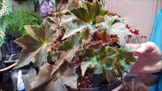 Download BEGÔNIA-REX - ( Begonia rex hybrid ), UMA FÁBRICA DE CORES PRA VOCÊ Video
