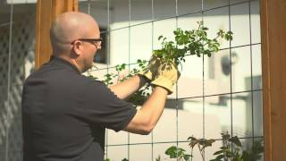 Download Planting and training your climbing rose Video