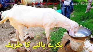 Download Bakrid ka karobaar bache Leke Palna Asan 03410341995راجن پوری بکریوں کی خریداری Video