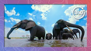 Download Surrounded by Baby Elephants in the Water (in 360 5K) Video