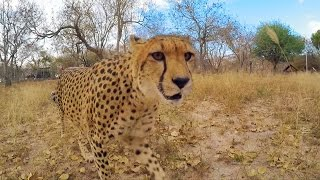 Download Cheetah speed test - Nature's Miracle Orphans: Series 2 Episode 3 - BBC One Video