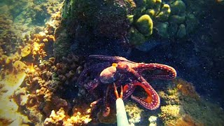 Download Hunting Octopus using Gopro! Video