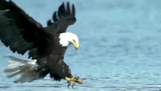 Download Wild Eagle Attacks, Best Attacks Ever. Video