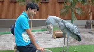 Download だいすきな飼育員さんにごはんをもらうハシビロコウ shoebill and caretaker Video