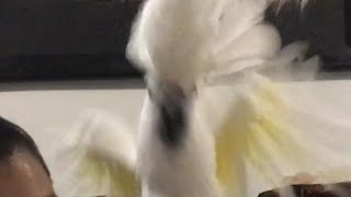 Download My Cockatoo Talking So Cute :D Video