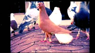 Download Gaziantep filo güvercin Video